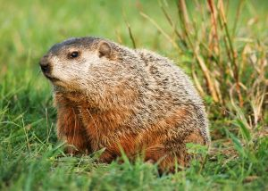 groundhog[1]